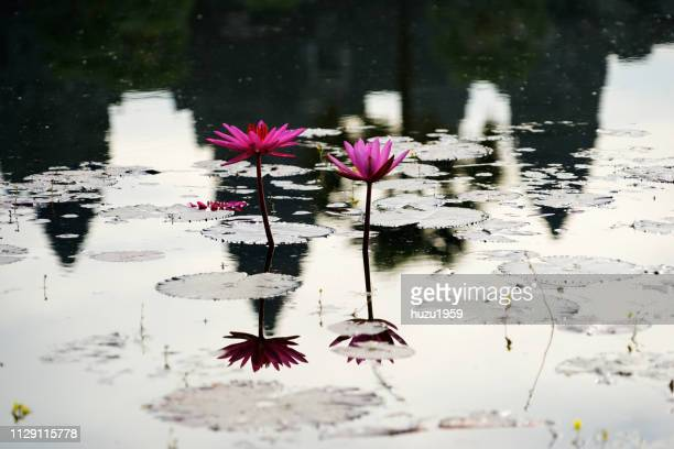 Water lily and reflection of Angkor Wat