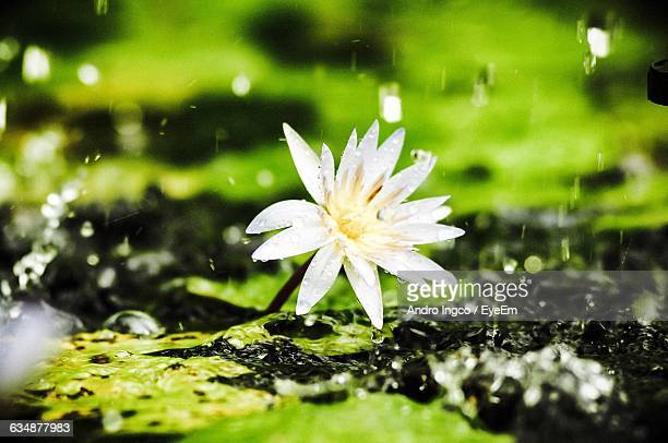 Water Lily Blooming At Pond During Monsoon