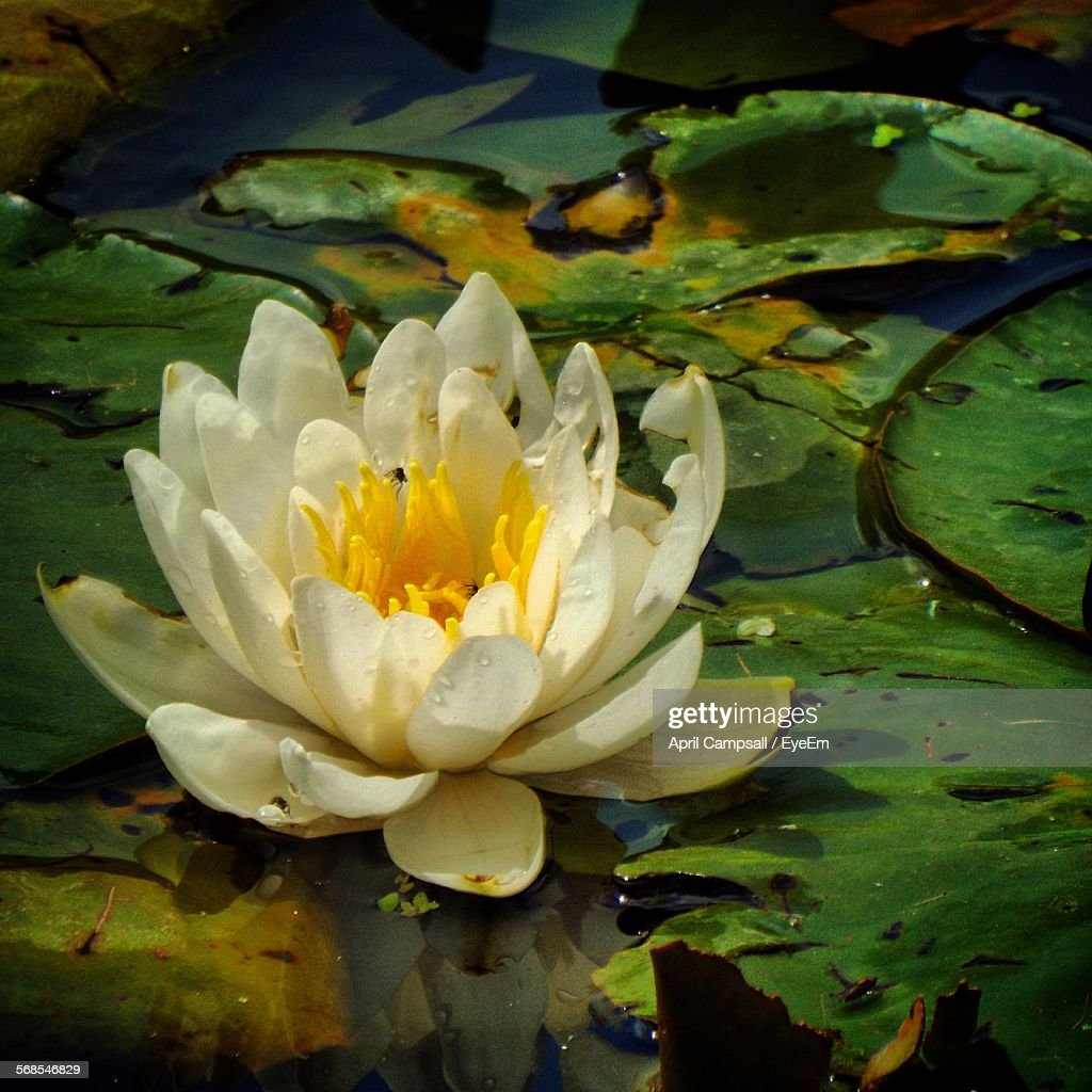 Water Lily Blooming On Pond : Stock Photo