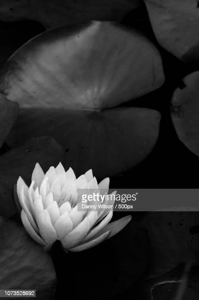 water lily blooming - lily wilson stock pictures, royalty-free photos & images
