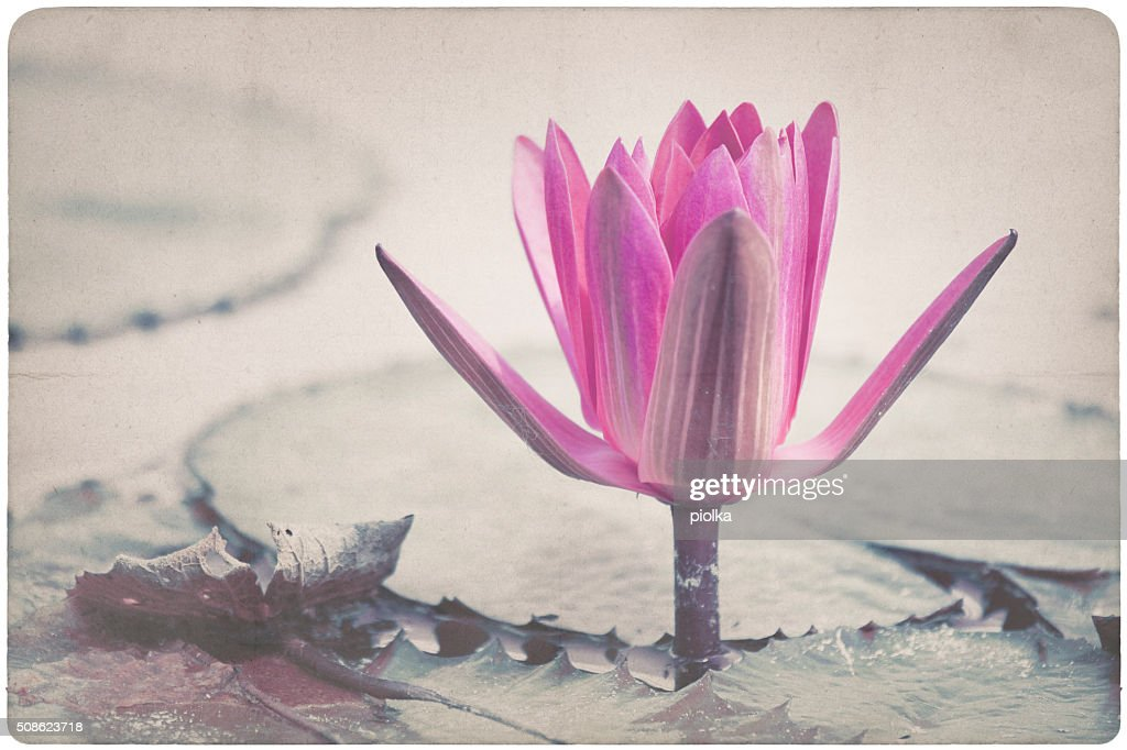 water lily blossom, flower on paper structure background : Stock Photo