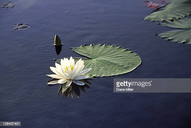 water lily, caddo lake, texas.