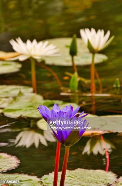 water lily, central park, new york, usa - victor ovies fotografías e imágenes de stock