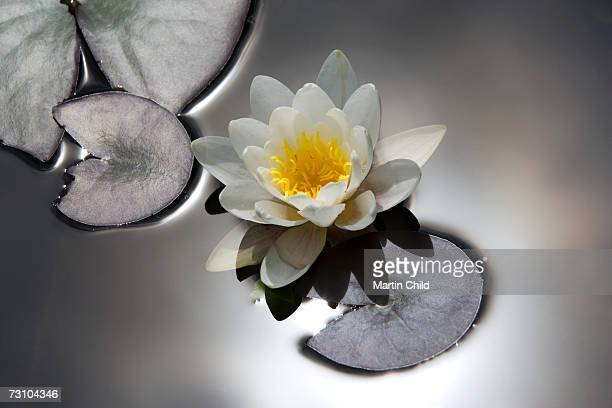 Water lily floating on water in pond, elevated view