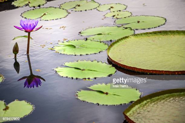 water lily floating on water - lily harris photos et images de collection