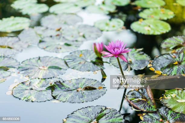 water lily floating on water surrounded by green leaves. - istock photos et images de collection