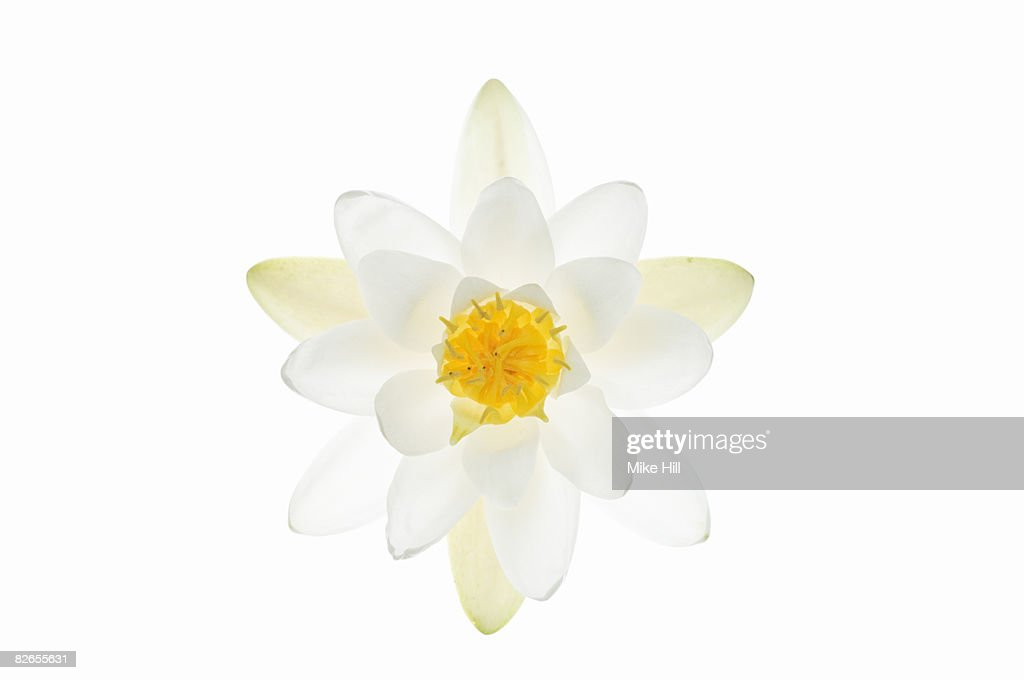Water Lily Flower Against White Background Stock Photo