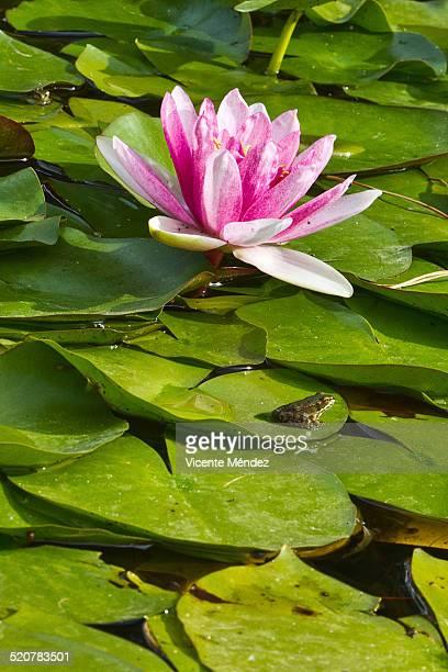 water lily flower and frog - vicente méndez fotografías e imágenes de stock