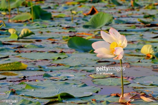 water lily flowers and plants in a river - punjab pakistan stock pictures, royalty-free photos & images