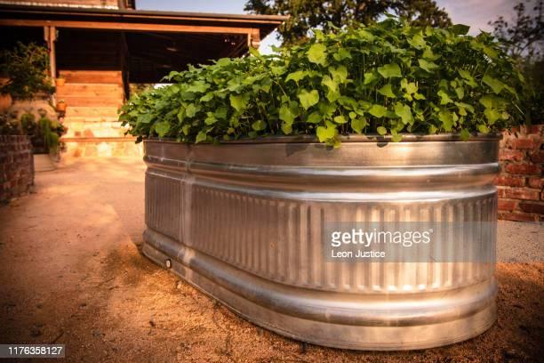water lily in huge aluminum tub - 飼い葉桶 ストックフォトと画像