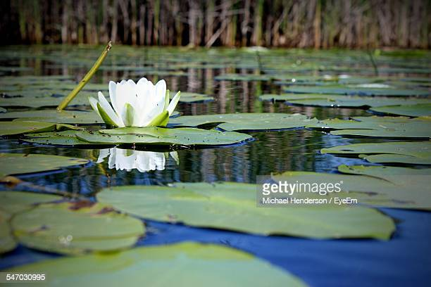 water lily in lake - ninfea foto e immagini stock