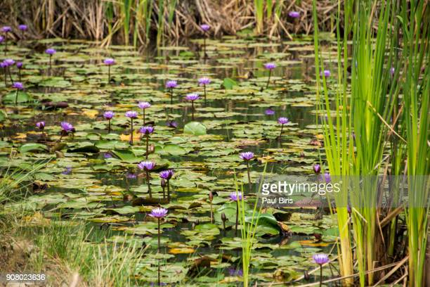 water lily in lumbini , the birthplace of buddha, nepal - lumbini nepal stock pictures, royalty-free photos & images