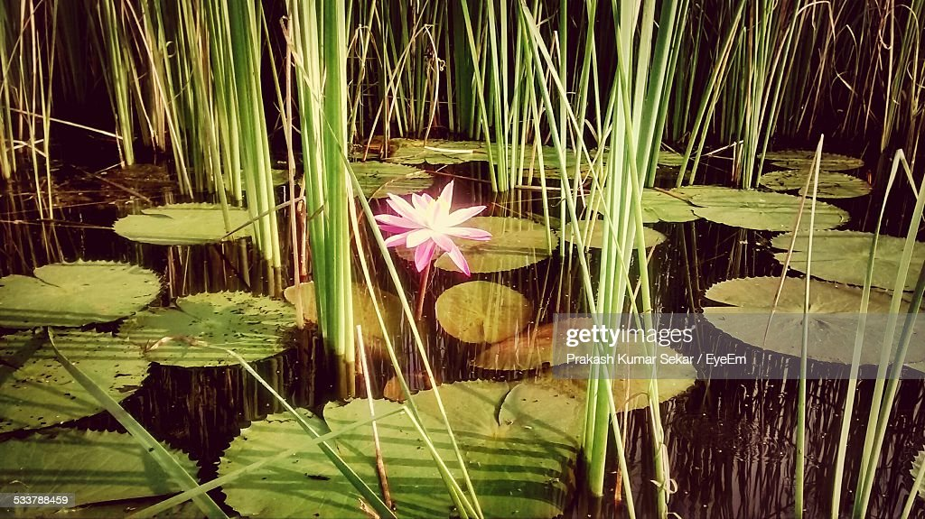 Water Lily In Pond : Foto stock