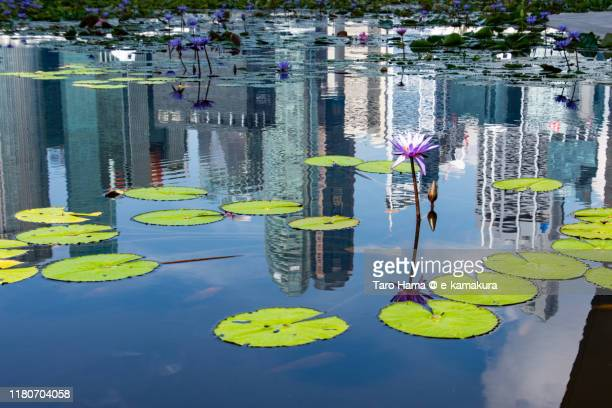 water lily in singapore city - %e... ストックフォトと画像