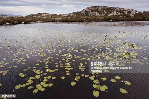 water lily lochen-harris, outer hebrides - lily harris photos et images de collection
