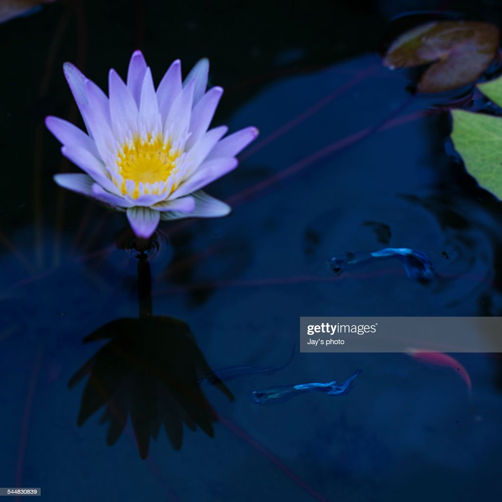 Water lily or lotus flower with fishes on pond stock photo getty water lily or lotus flower with fishes on pond stock photo izmirmasajfo