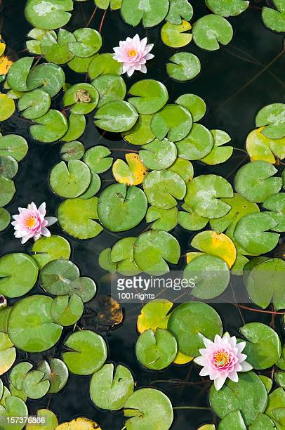 water lily - water garden stock pictures, royalty-free photos & images