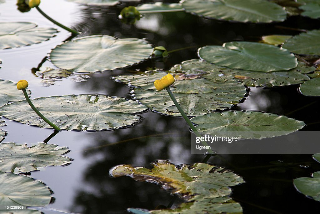 water lily : Stock Photo