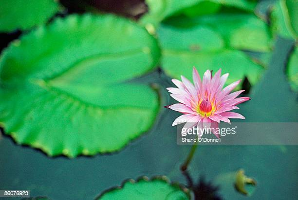 water lily - lily o donnell stock pictures, royalty-free photos & images