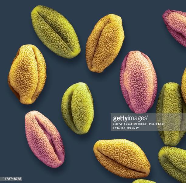water lily pollen grains, sem - scanning electron microscope stock pictures, royalty-free photos & images