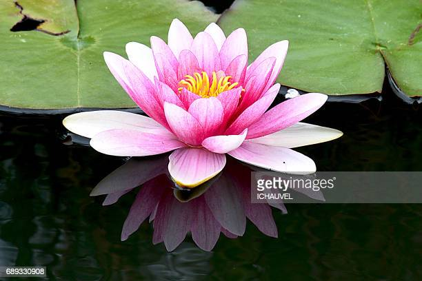water lily reflection france - fleur flore stock pictures, royalty-free photos & images