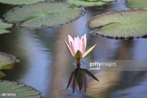 water lily-2