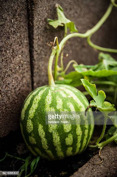 Water Melon in a Greenhouse
