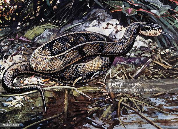 Water Moccasin or Cottonmouth Viperidae drawing