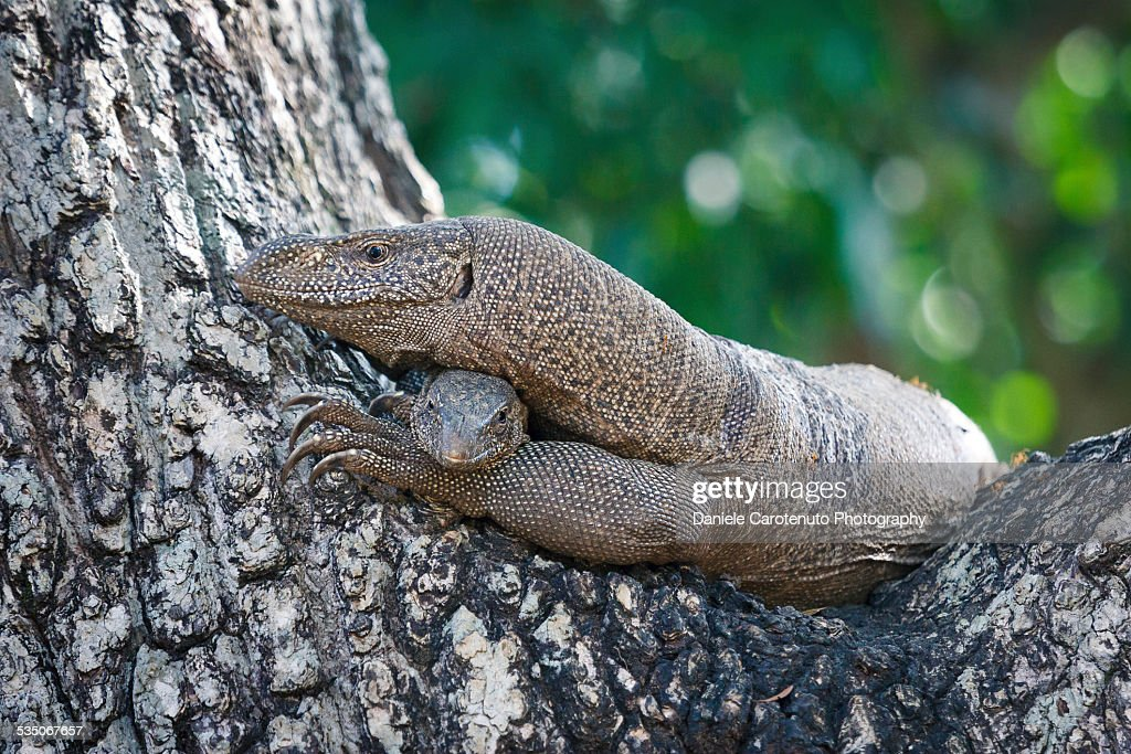 Water monitor & son : Stock Photo