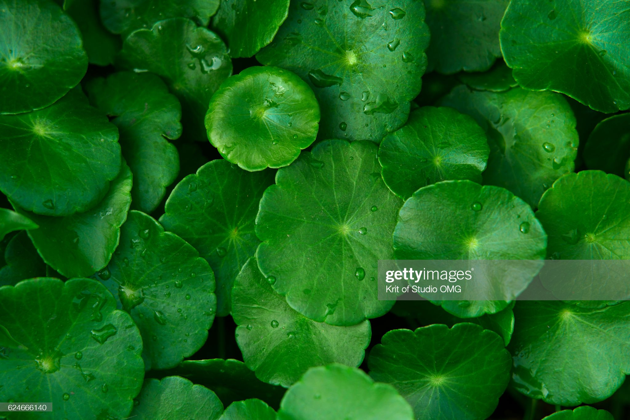 Water Pennywort leaves pattern : Stock Photo