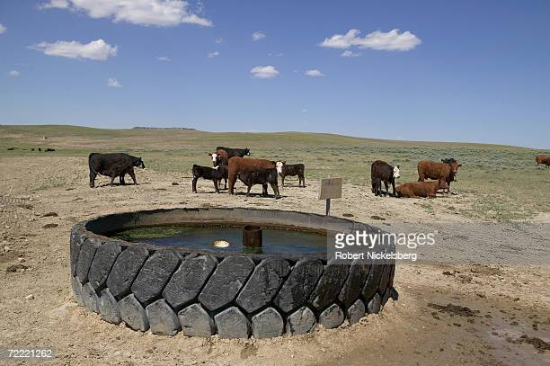 Water pumped from drilled coal bed methane wells surfaces in a giant rubber tire to be used by grazing cattle on the open prairie on June 14 2006 in...