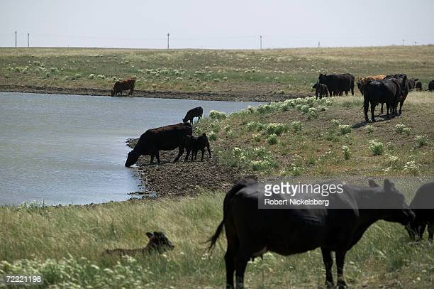 Water pumped from drilled coal bed methane wells surfaces in a reservoir to be used by grazing cattle on the open prairie on June 14 2006 in the...