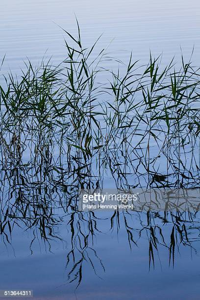 Water reed reflected on lake surface