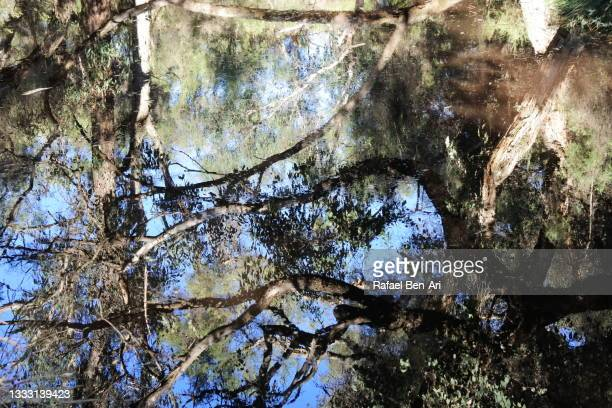 water reflection of australian bush trees - rafael ben ari stock-fotos und bilder