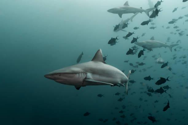 Water Sharks