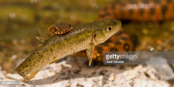 water snake feedin on ii part. culebra de agua alimentandose ii parte. - parte de stock pictures, royalty-free photos & images