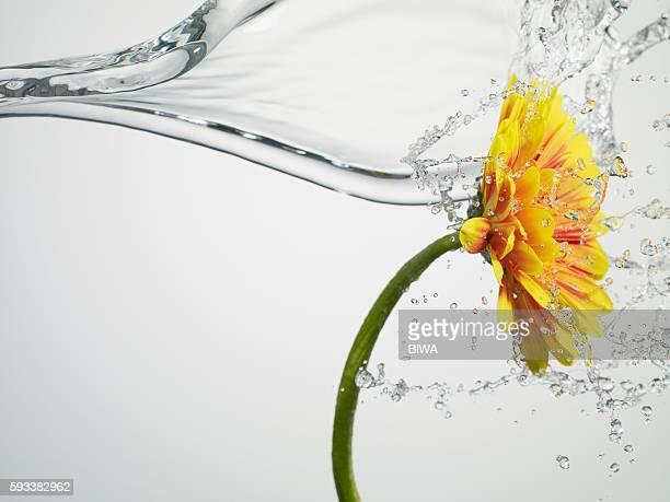 water splashing daisy - inarcare la schiena foto e immagini stock