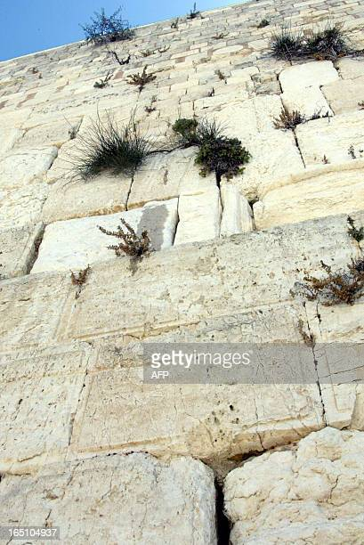 A water spot which appeared on the Western Wall Judaism's most holy site in the men's worshiping area in Jerusalem is seen just above a wall plant 05...