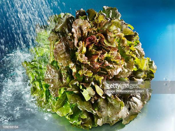 Water spraying on batavia lettuce