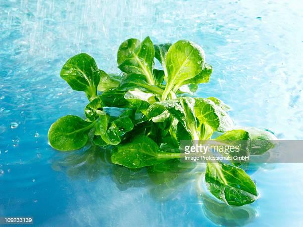 Water spraying on lamb's leaf lettuce