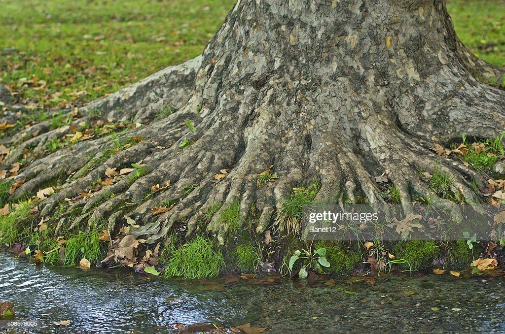 Wasser Bach übergeben Wurzeln des großer alter Baum am Morgen : Stock-Foto