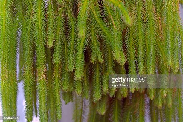 water tassel fern (lycopodium squarrosum) - tassel stock pictures, royalty-free photos & images
