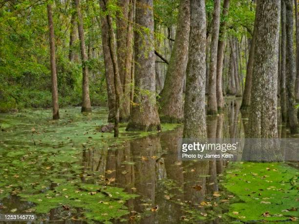 water tupelo and bald cypress grow in a southern swamp. - bald cypress tree stock pictures, royalty-free photos & images