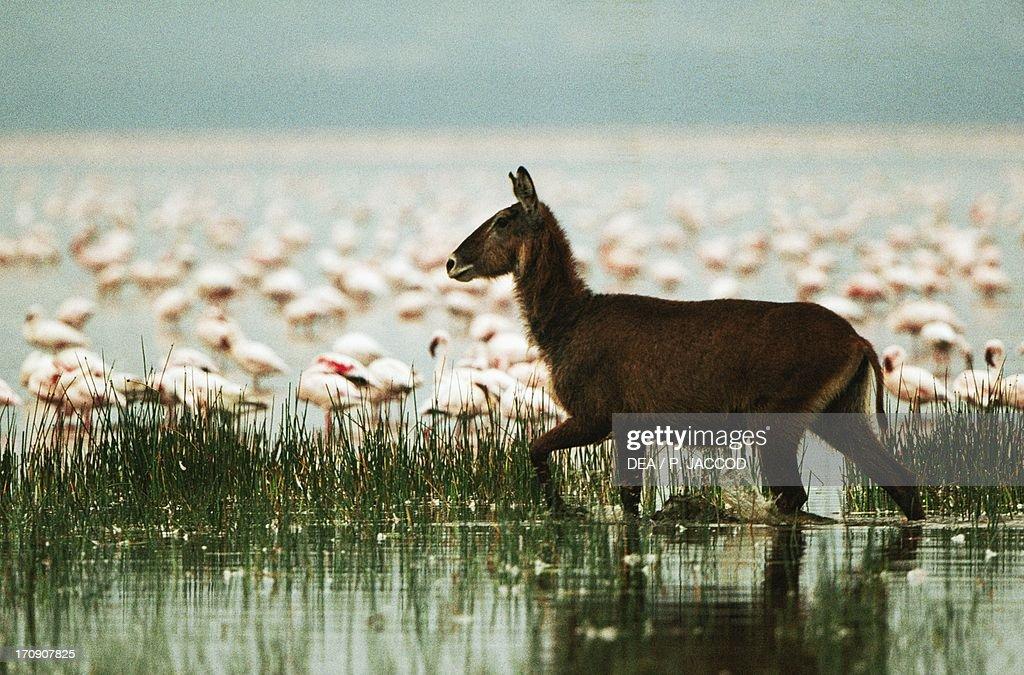 Waterbuck and Lesser Flamingos : News Photo