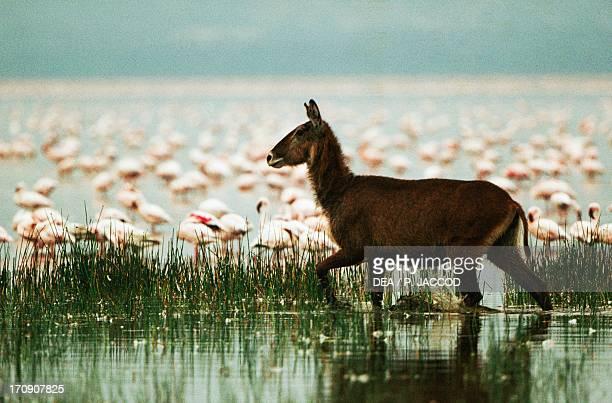 Waterbuck and Lesser Flamingos Lake Nakuru National Park Kenya