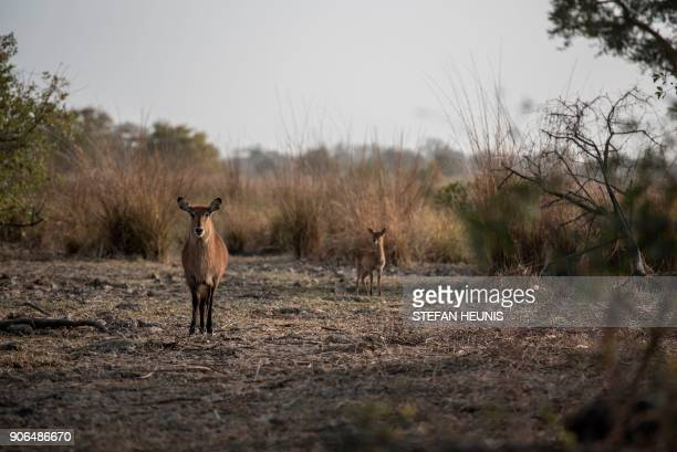 A waterbuck female stands next to its cub in the morning sun at Pendjari National Park near Tanguieta on January 11 2018 Pendjari National Park is...