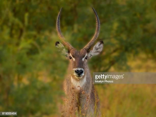 Waterbuck in the Bushveld