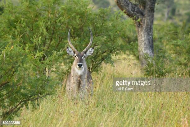 Waterbuck in the Bysh