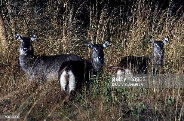 Waterbuck in the savanna Zambia