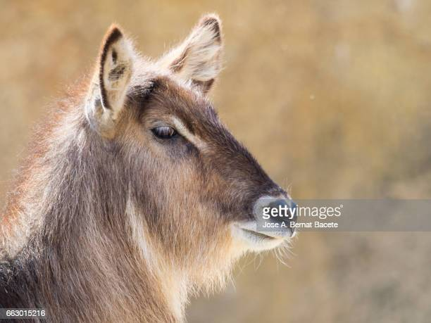waterbuck, kobus ellipsiprymnus, close up side view, famale. - acostado boca abajo stock pictures, royalty-free photos & images